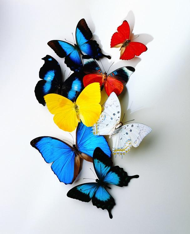 butterfly 016