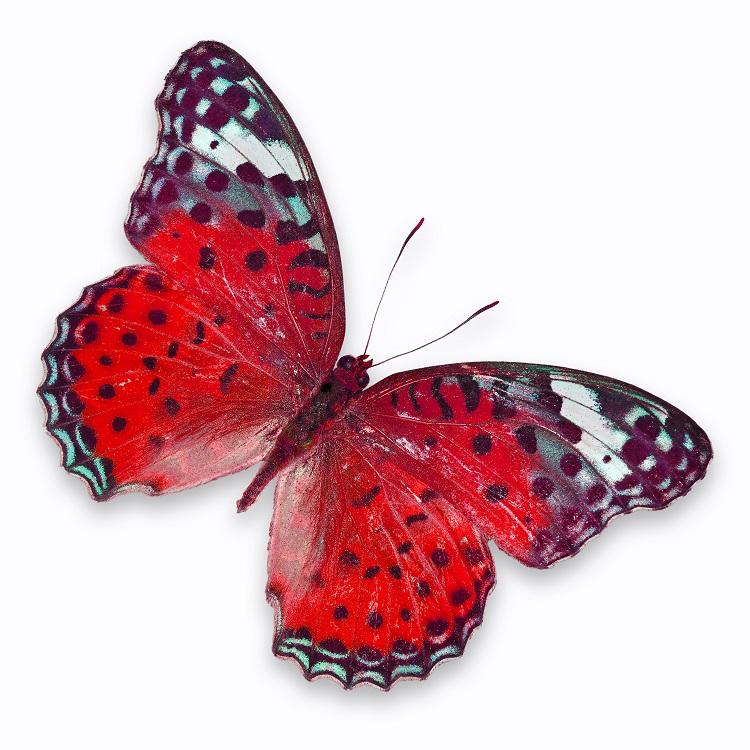 butterfly 052