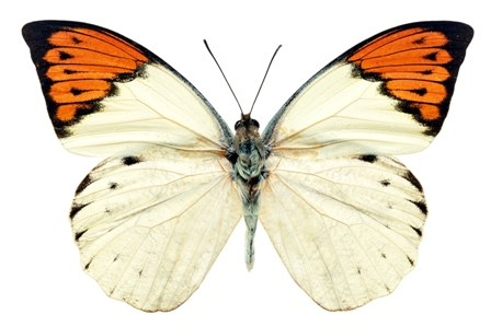 butterfly 061