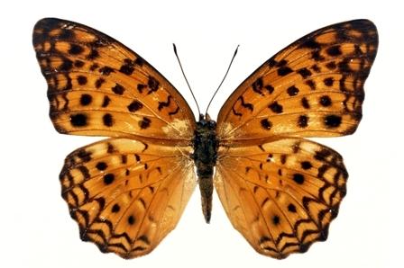 butterfly 063