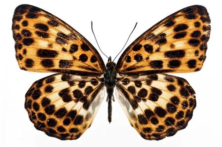 butterfly 064