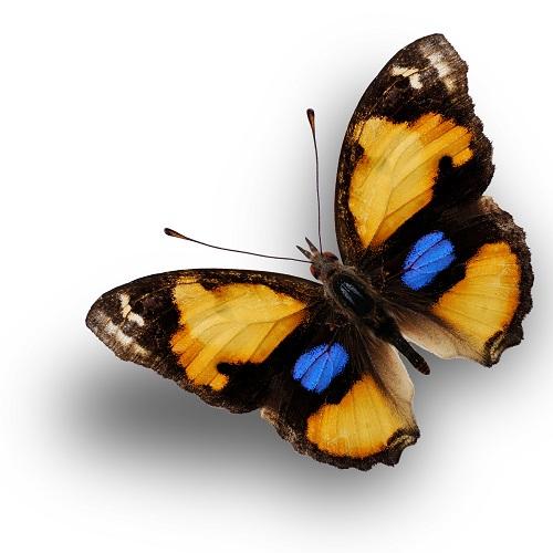 butterfly 066