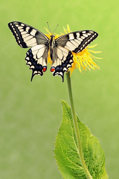 butterfly 095