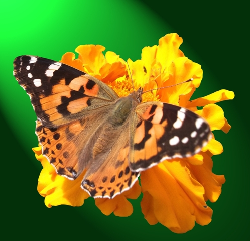 butterfly 106.JPG
