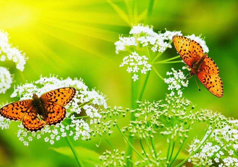 butterfly 105