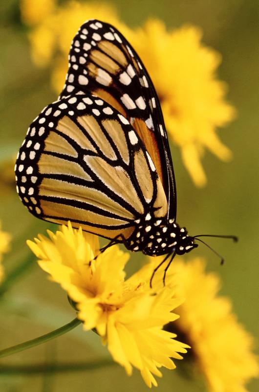 butterfly 107