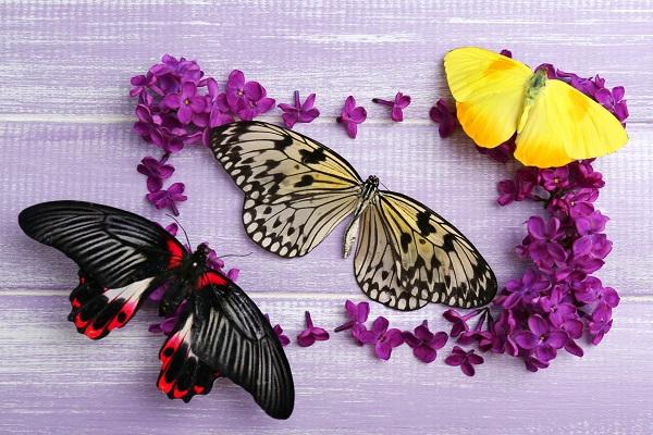 butterfly 111