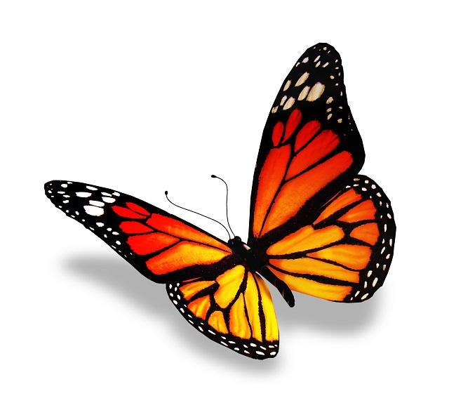 butterfly 113