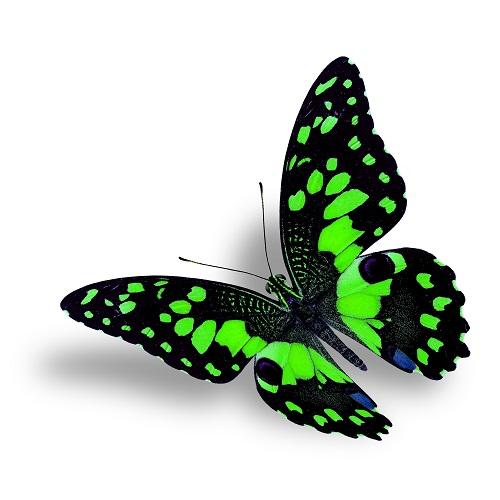 butterfly 115